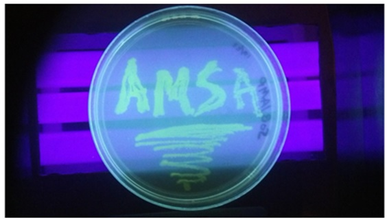 Working with bacteria to produce indicators in their research, students created a streak plate with the school's acronym.